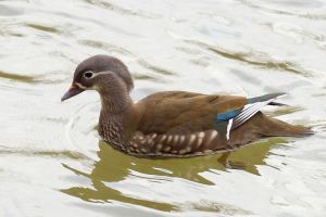 Female mandarin duck by Jorapache