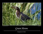 Green Heron by Merlinstouch