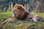 Lion by Bobbykim666
