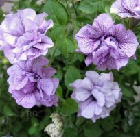 Poetic Petunias by fractal1
