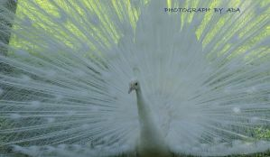 White Peacock by AdARDurden