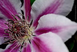 Clematis by Night-Hawk6