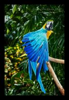 Blue-and-Yellow Macaw by Violet-Kleinert