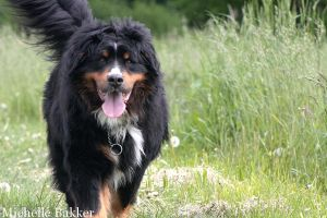 Bernese Mountain Dog Kane walking in the grass by MichelleB-Stock