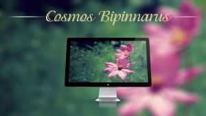 Cosmos Bipinnatus - Wallpaper by Hercules1997