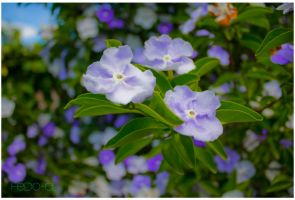 Paraguay's Jasmine by FedeAL