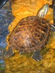 Red Eared Slider 5 by Polly-Stock