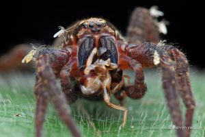 Wandering Spider feeding by melvynyeo