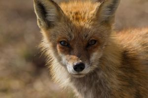 Fox 2 by bovey-photo