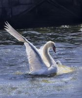 Swan painting by DryJack