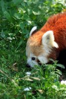 Red panda by Palmix