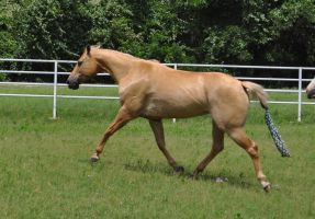 Belle trot stock 1 by Feather-Stock