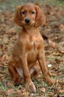 Irish setter puppy VI by lesnydrwal