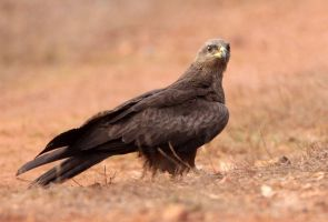 Black kite by Jamie-MacArthur