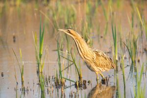 Bittern at Dusk by StephiPhotography