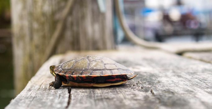 Little Painted Turtle by MrDSir