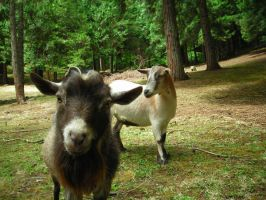Goats 2 by tristin-stock