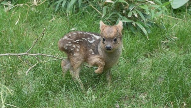 World's smallest deer, newest fawn. by yunwi-tsunsdi