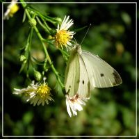 Cabbage White on Aster I by MuseSusan