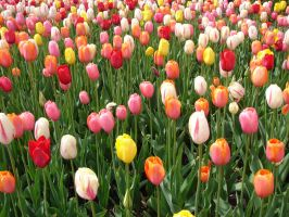 Tulips by Artsee1