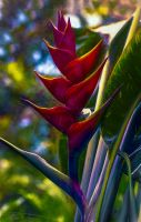 Lobster Claw Heliconia by eccoarts