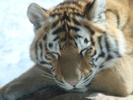 Siberian Tiger Cubbie by roamingtigress