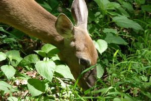 Deer close up by clowno
