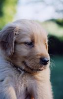 Golden Pup by BlindedbyScience