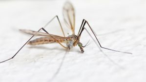 Mosquito by Dinjai