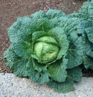 Denver Botanical Cabbage 76 by Falln-Stock