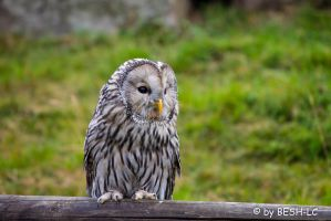 Ural Owl by BESH-LC