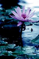 Water Lilly 36 by Art-Photo