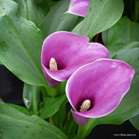 Calla Times Two Square by Mogrianne