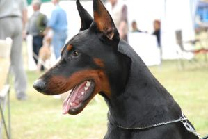 Doberman puppy by rad0s