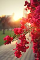 bougainvillea by bi3tareh