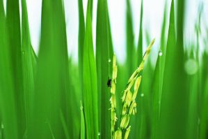 fly on rice by cassieandrea
