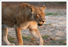 Lioness - 3032 by eight-eight