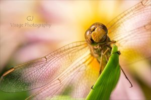 May Dragonfly by GJ-Vernon