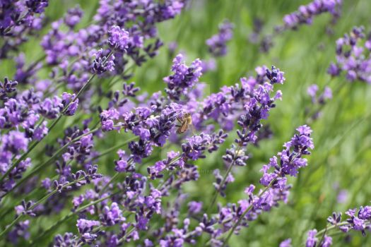 Bee in Lavender by ChinookDesigns