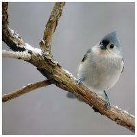 Tilted Titmouse by rscorp