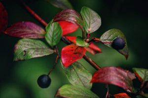 Black berries and red leaves by cezare-me