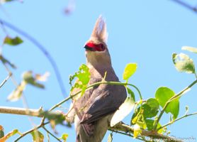 Red-Faced Mousebird 2 by Okavanga