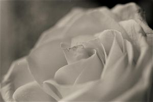 White Rose 3 by inyourlove