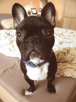 French Bulldog by DaveKurri