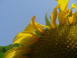 Sunflower by Master-Bryon