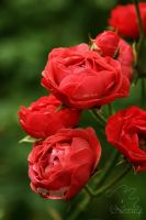 2012 September 13 - roses after the rain by Nexu4