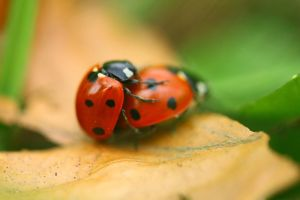 Ladybirds by close-up-clive