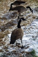 Geese8 by stockicide