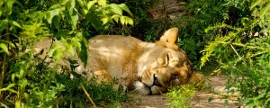 tired lion by Lost-in-Art-1983