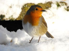 Robin in the snow by Dulaich
